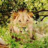 Legend Lodges Lion